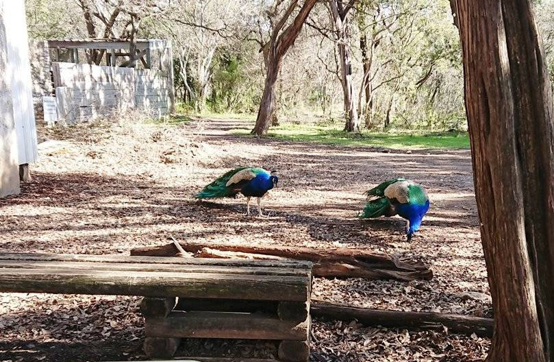 Peacocks at Mayfield Park